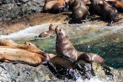 Από την Αλάσκα λιοντάρια θάλασσας στο βράχο 1 Στοκ Φωτογραφίες