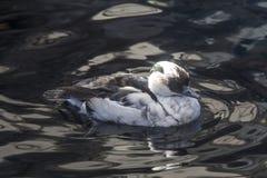 Από την Αλάσκα πάπια στο νερό Στοκ Εικόνες