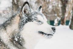 Από την Αλάσκα παιχνίδι Malamute υπαίθριο στο χιόνι, χειμερινή εποχή Εύθυμος Στοκ Εικόνα