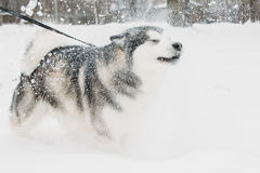 Από την Αλάσκα παιχνίδι Malamute υπαίθριο στο χιόνι, χειμερινή εποχή Εύθυμος Στοκ εικόνα με δικαίωμα ελεύθερης χρήσης