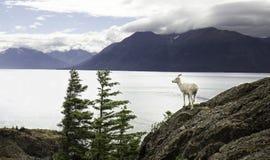 Από την Αλάσκα προβατίνα Dall στοκ εικόνα με δικαίωμα ελεύθερης χρήσης
