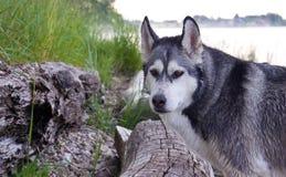 Από την Αλάσκα malamute φυλής σκυλιών Στοκ Φωτογραφίες