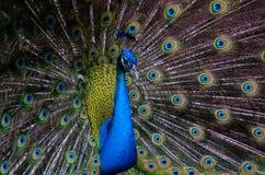 από την εμφάνιση peacock στοκ εικόνα