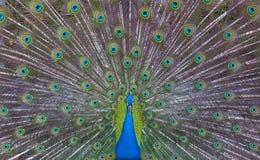από την εμφάνιση peacock Στοκ Φωτογραφίες