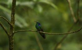 Από την Κόστα Ρίκα βουίζοντας πουλί Στοκ φωτογραφία με δικαίωμα ελεύθερης χρήσης