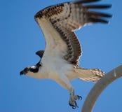 από τη λήψη osprey Στοκ Φωτογραφίες
