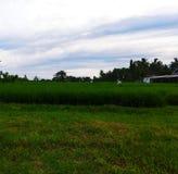 Από τους τομείς ρυζιού τώρα πράσινους Στοκ Εικόνες