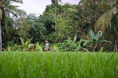Από το Μπαλί αγρότης με ένα καλάθι που λειτουργεί στα πράσινα πεζούλια UBUD, Ινδονησία, Μπαλί, 11 ρυζιού 08 2018 στοκ φωτογραφία με δικαίωμα ελεύθερης χρήσης