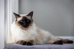 Από το Μπαλί γάτα σοκολάτας στοκ εικόνες