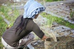 Από το Μπαλί γυναίκα που φυτεύει τα πράσινα κρεμμύδια (scallions) στο χώμα Στοκ Εικόνες