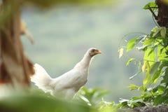 Από το Μπαλί κοτόπουλο Στοκ φωτογραφία με δικαίωμα ελεύθερης χρήσης