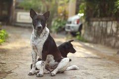 Από το Μπαλί σκυλί Στοκ Εικόνα