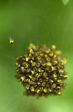 αράχνες κήπων Στοκ φωτογραφίες με δικαίωμα ελεύθερης χρήσης