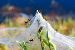 Αράχνες και η οικογένεια στους ιστούς αράχνης στους πράσινους κλάδους Σιβηρία Ρωσία στοκ φωτογραφία με δικαίωμα ελεύθερης χρήσης