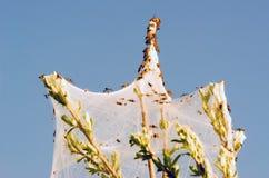 Αράχνες και η οικογένεια στους ιστούς αράχνης στους πράσινους κλάδους Σιβηρία Ρωσία στοκ εικόνες με δικαίωμα ελεύθερης χρήσης