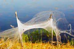 Αράχνες και η οικογένεια στους Ιστούς μεταξύ των θάμνων Σιβηρία στοκ φωτογραφίες