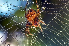 Αράχνες στη φύση Στοκ Φωτογραφίες