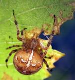 Αράχνες στη φύση Στοκ Εικόνες