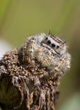 αράχνη άλματος λουλουδιών που μαραίνεται Στοκ Εικόνες