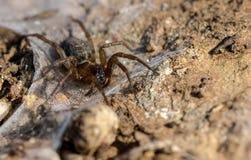 Αράχνη έτοιμη στο θήραμα ενέδρας στοκ εικόνα