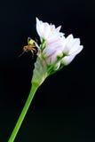 Αράχνη αγγουριών σε ένα λουλούδι Στοκ Φωτογραφία
