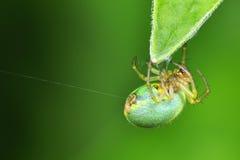 Αράχνη αγγουριών Στοκ φωτογραφία με δικαίωμα ελεύθερης χρήσης