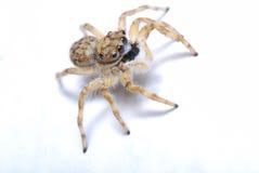 Αράχνη αλτών Στοκ Φωτογραφία
