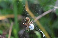 Αράχνη αραχνών ή σφηκών τιγρών ή bruennichii Argiope Στοκ φωτογραφία με δικαίωμα ελεύθερης χρήσης