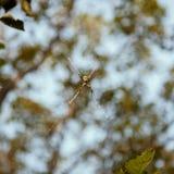 Αράχνη (ασημένιο argiope ή argentata Argiope) Στοκ Εικόνες
