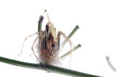 αράχνη αυγών περίπτωσης Στοκ φωτογραφία με δικαίωμα ελεύθερης χρήσης