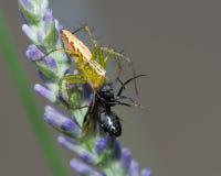 Αράχνη - ζωή και θάνατος Στοκ Φωτογραφία