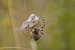 αράχνη θηραμάτων Στοκ Εικόνες