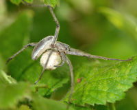 Αράχνη Ιστού βρεφικών σταθμών (mirabilis Pisaura) με το σάκο αυγών Στοκ εικόνα με δικαίωμα ελεύθερης χρήσης