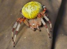 Αράχνη (κήπος-αράχνη) 1 Στοκ Εικόνες