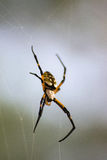 Αράχνη κήπων υφαντών σφαιρών Στοκ εικόνες με δικαίωμα ελεύθερης χρήσης
