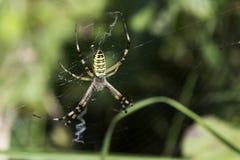Αράχνη κήπων (aurantia Argiope) στο δίχτυ Στοκ φωτογραφία με δικαίωμα ελεύθερης χρήσης