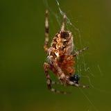 Αράχνη κήπων, diadematus Araneus που τρώει ένα θήραμα Στοκ Φωτογραφία