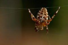 αράχνη κήπων diadematus araneus Στοκ εικόνες με δικαίωμα ελεύθερης χρήσης