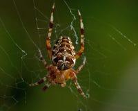 αράχνη κήπων diadematus araneus Στοκ φωτογραφίες με δικαίωμα ελεύθερης χρήσης