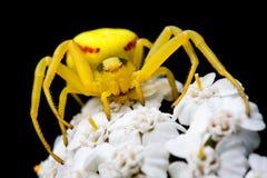 αράχνη κίτρινη Στοκ Φωτογραφία