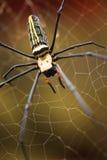 Αράχνη κίτρινος και μαύρος Στοκ φωτογραφία με δικαίωμα ελεύθερης χρήσης