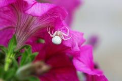 Αράχνη καβουριών/αράχνη λουλουδιών Vatia Misumena αραχνών σε ένα ρόδινο flowe Στοκ Φωτογραφίες