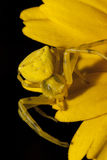 αράχνη καβουριών κίτρινη Στοκ Φωτογραφία