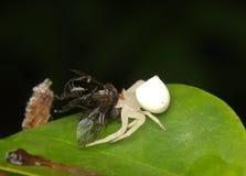 Αράχνη καβουριών με τη μύγα στοκ φωτογραφία