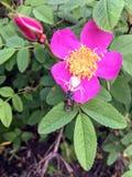 Αράχνη καβουριών που πιάνει sawfly σε μια Αλμπέρτα wildrose στοκ εικόνες με δικαίωμα ελεύθερης χρήσης