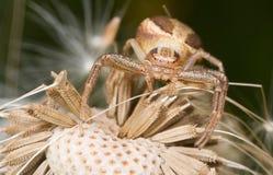 αράχνη καβουριών Στοκ Φωτογραφίες