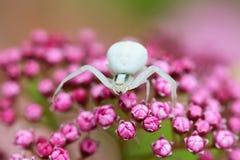 αράχνη καβουριών Στοκ Εικόνα