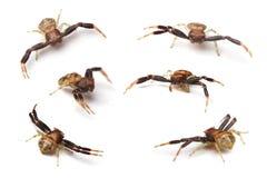 Αράχνη καβουριών Στοκ Εικόνες