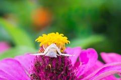 Αράχνη & x28 καβουριών Thomisus& x29  Στοκ Εικόνα