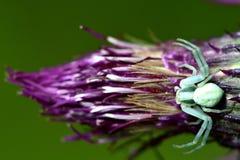 Αράχνη καβουριών (vatia Misumena) στον κάρδο Στοκ Φωτογραφίες